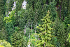 Forests in alps. Forests in the alps mountains Royalty Free Stock Photo