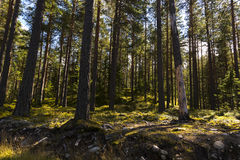 The forests of Norway. Landscape in the forests of Norway Stock Images