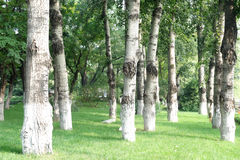 Forests of white birches. Morning forests of white birches Stock Images