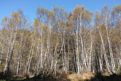 Forests of white birches Stock Photography