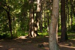 Foresttrunks das árvores nos raios de luz solar imagem de stock royalty free