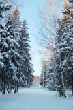 Forestwith高树和滑雪轨道与白色雪 免版税库存照片