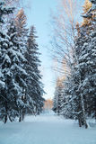 Forestwith high trees and ski track with white snow Royalty Free Stock Photo