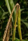Foreur de tige sur le maïs Image libre de droits