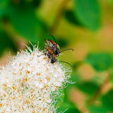 Foreurs d'extrémité de corinthe de coléoptères   Photo stock