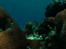 Foreye Butterflyfish Stock Afbeeldingen
