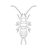 Forficula auricularia. Earwig. Sketch of Earwig Royalty Free Stock Image