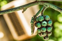 Forged metal wiązka winogrono wewnętrzna dekoracja Zdjęcia Stock