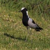 Forgeron Lapwing sur une pelouse en Afrique du Sud image stock