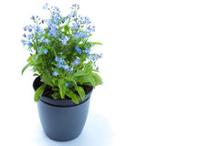 Forget-me-eared, Forget me not Myosotis scorpioides with blue Royalty Free Stock Photo