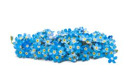 Forget-me-flower Royalty Free Stock Images