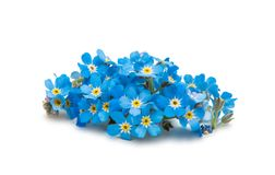 Forget-me-flower Stock Photography