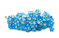 Forget-me-flower Stock Image
