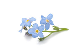 Forget-me-flower Royalty Free Stock Photo
