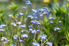 Forget-Me forest royalty free stock photos