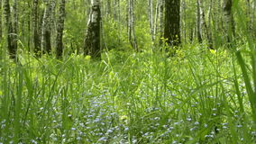 Forget-me-not λουλούδια με τα πράσινα φύλλα στο πάρκο πόλεων Ανθίζοντας άγρια φρέσκια χλόη Myosotis wildflower απόθεμα βίντεο