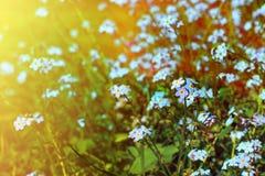 Forget-me-not στον ήλιο Στοκ εικόνα με δικαίωμα ελεύθερης χρήσης