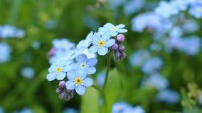 Forget-me-not συνδετήρας κινηματογραφήσεων σε πρώτο πλάνο όμορφα λουλούδια απόθεμα βίντεο