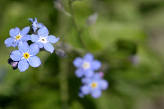 Forget-me-not. In the garden Stock Images