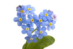 Forget me not.. Stock Photography