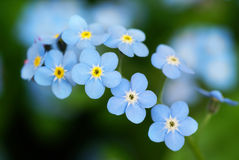 Forget me not. royalty free stock photos