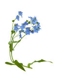 Forget me not. Branch of forget me not flower isolated on white Stock Photos