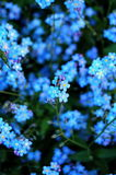 Forget-me-not Stock Photos