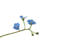 Free Forget-me-not Royalty Free Stock Photos - 11818438
