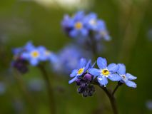 Forget Me Not. Flowers royalty free stock image