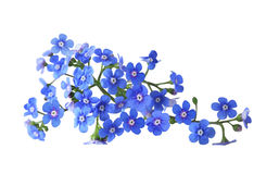 Forget me not. Bundle of fresh blue forget me not flower Royalty Free Stock Photos