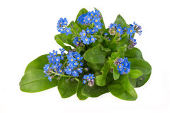 Forget-me-not. Isolated on white background Royalty Free Stock Images