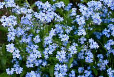 Forget-me-not Royalty Free Stock Photo
