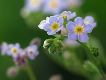 Forget-me-not. Flowers macro on shade green background stock photo