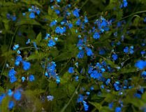 Forget-me-not Stock Images