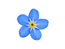 Forget me not. Forget-me-not flower isolated on white Stock Photos