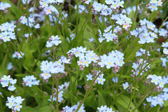 Forget me not. Wonderful forget me not flowers of blue colors Royalty Free Stock Photo
