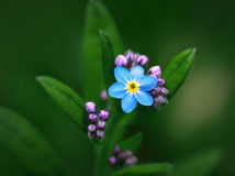 Forget-me-not. Close up of small forget-me-not flower and buds on green background Stock Images