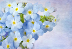 Forget me not. On blue background Royalty Free Stock Photo
