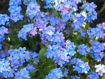 Forget me not. A blue background Royalty Free Stock Images