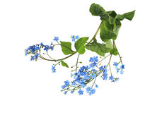 Forget Me Not. Flower isolated on white Stock Images