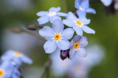 Forget me not. Flowers macro Stock Image