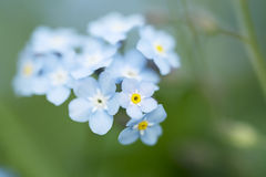 Free Forget-me-not Royalty Free Stock Photos - 31628958