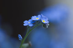 Forget-me-not. Close up, photo taken without tripod Royalty Free Stock Photo