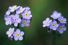 Forget-me-not. Beautiful small blue flowers with five petals and a yellow ring in the centre. scientific name: myosotis sylvatica Stock Image