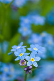 Forget-me-not. Royalty Free Stock Photo