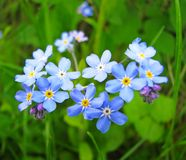 Forget me not. Flowers in garden Royalty Free Stock Images