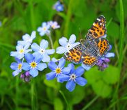 Forget me not. Flowers and butterfly Royalty Free Stock Image