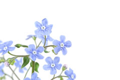 Free Forget-me-not Royalty Free Stock Photos - 6578808