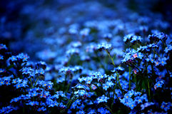 Forget-me-not. A lot of forget-me-not Royalty Free Stock Photography