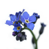 Forget-me-not. Over clear white background Royalty Free Stock Photos